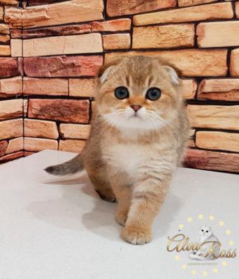 Шотландские котята окраса золотая шиншилла фото (4)