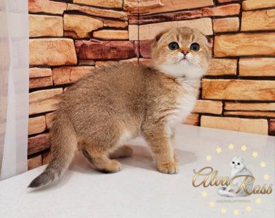 Шотландские котята окраса золотая шиншилла фото (5)