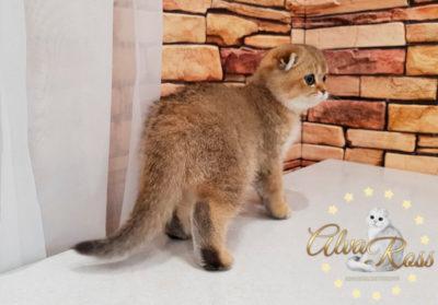 Шотландские котята окраса золотая шиншилла фото (6)