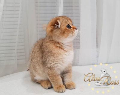 Шотландские котята окраса золотая шиншилла фото (7)