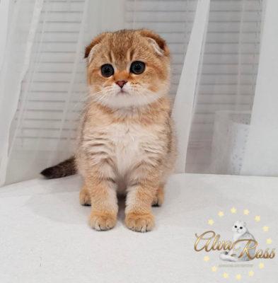 Шотландские котята окраса золотая шиншилла фото (8)