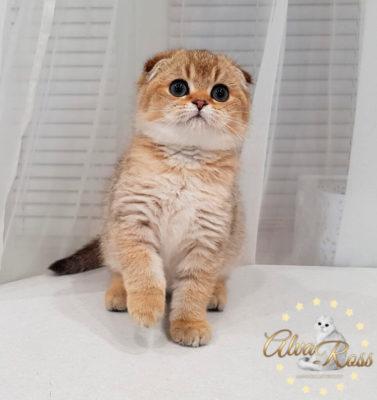 Шотландские котята окраса золотая шиншилла фото (9)