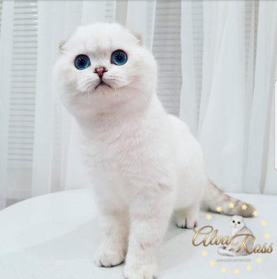Шотландские вислоухие котята с голубыми глазами окраса шиншилла-поинт фото (10)