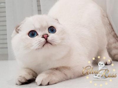 Шотландские вислоухие котята с голубыми глазами окраса шиншилла-поинт фото (5)
