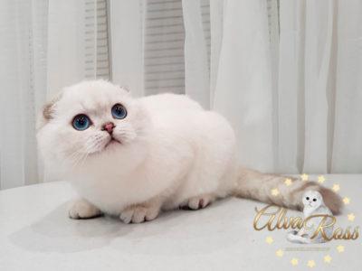 Шотландские вислоухие котята с голубыми глазами окраса шиншилла-поинт фото (6)