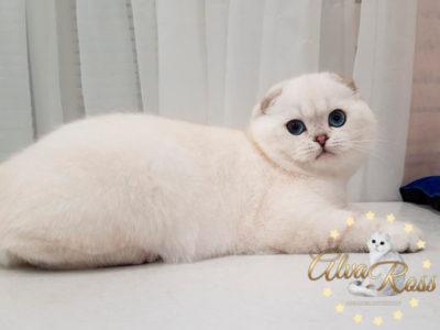 Шотландские вислоухие котята с голубыми глазами окраса шиншилла-поинт фото (8)