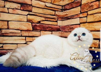 Шотландские вислоухие котята с голубыми глазами окраса шиншилла-поинт фото (9)