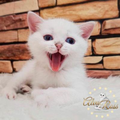 Шотландский котенок окраса шиншилла-поинт в возрасте 1 месяц (имеет голубой цвет глаз)