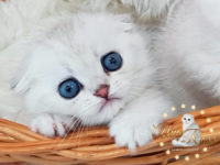 Scottish kitten of chinchilla color at the age of 1 month (has a blue eye color)
