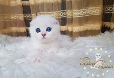 Скоттиш-фолд котенок окраса шиншилла фото (1)