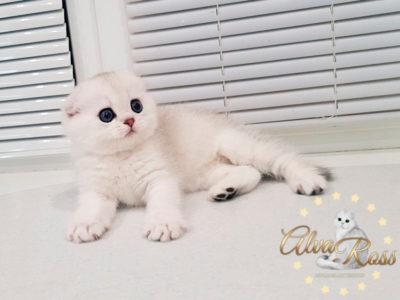 Скоттиш-фолд котенок окраса шиншилла фото (2)
