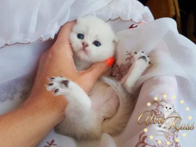 Скоттиш-фолд котенок окраса шиншилла фото (3)