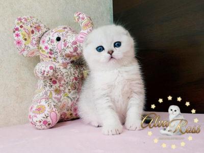 Скоттиш-фолд котенок окраса шиншилла фото (4)