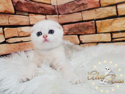 Скоттиш-фолд котенок окраса шиншилла фото (5)