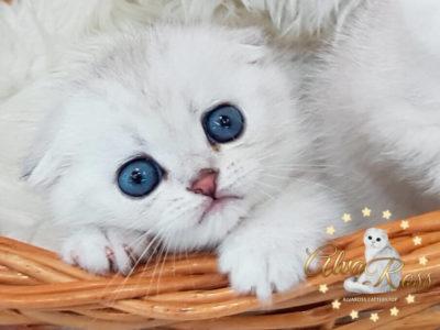 Скоттиш-фолд котенок окраса шиншилла фото (6)