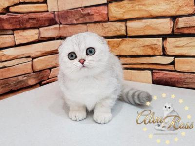 Скоттиш-фолд котенок окраса шиншилла фото (7)