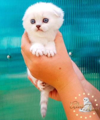 Скоттиш-фолд котенок окраса шиншилла-поинт фото (1)