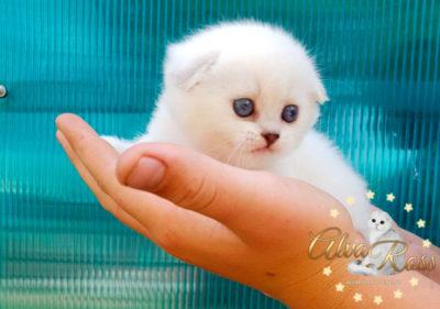 Скоттиш-фолд котенок окраса шиншилла-поинт фото (2)