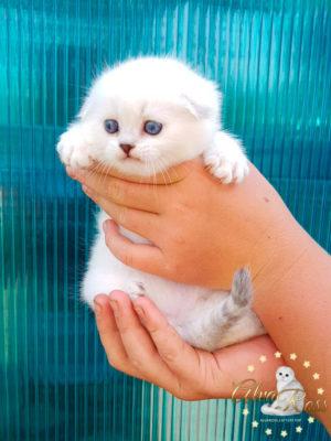 Скоттиш-фолд котенок окраса шиншилла-поинт фото (3)
