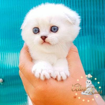 Скоттиш-фолд котенок окраса шиншилла-поинт фото (4)