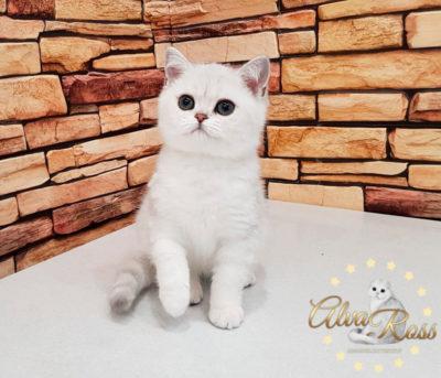 Скоттиш-страйт котята окраса шиншилла фото (1)