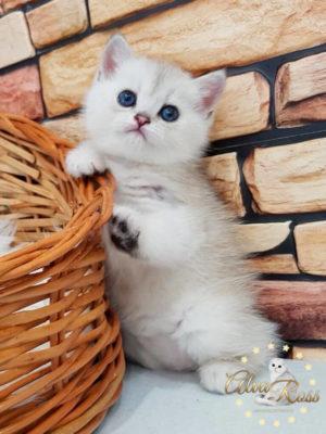 Скоттиш-страйт котята окраса шиншилла фото (3)