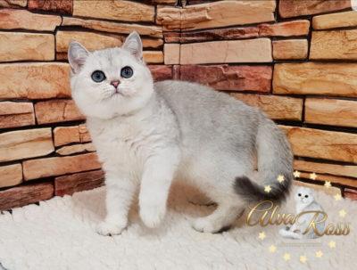 Скоттиш-страйт котята окраса шиншилла фото (4)