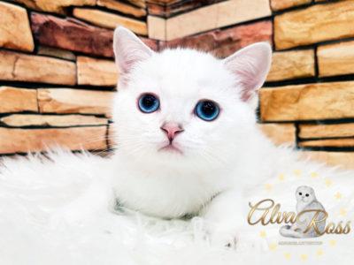 Скоттиш-страйт котята окраса шиншилла-поинт фото (1)
