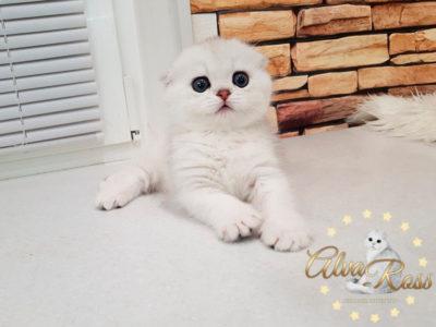 Вислоухие шотландские котята окраса шиншилла фото (4)