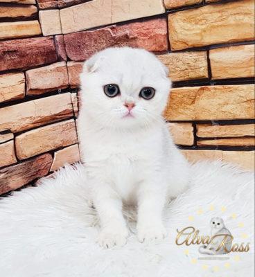 Вислоухие шотландские котята окраса шиншилла фото (6)