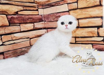 Вислоухие шотландские котята окраса шиншилла фото (5)